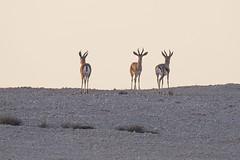 Bovidae: Gazella dorcas dorcas (Kristof Zyskowski and Yulia Bereshpolova) Tags: bovidae gazella dorcas gazelle israel negev