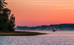 Pelican Mist (Patti Deters) Tags: sunrise pelican lake mist fog sunset water boylake lobby hotel hospital wildlife landscape scenic orange pink island flight wings beak morning dusk dawn river pond nature pattideters