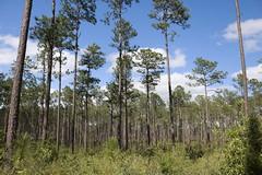 Longleaf pine forest (tammoreichgelt) Tags: longleaf pine needle pinus palustris desoto de soto national forest mississippi inkberry yaupon tree muscandine