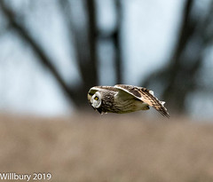 SEO (Willbury not about much.) Tags: sigma short hunting eared owl outdoor cotswolds flying sigma500 nikon d500