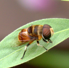 ecosystem/fauna/Hoverfly(Phytomia errans) (biodiversity western ghats(before it is gone)) Tags: taxonomy:family=syrphidae taxonomy:genus=phytomia diptera syrphidae eristalinae eristalini diversityindia insectindia