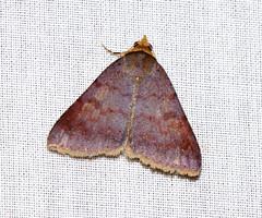 ecosystem/fauna/Noctuid Moth(Plecoptera quaesita) (biodiversity western ghats(before it is gone)) Tags: taxonomy:binomial=plecopteraquaesita erebidae anobinae indianmoths