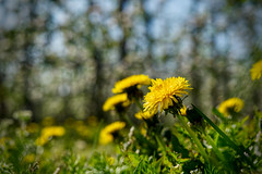 Dandelion (enneafive) Tags: dandelion nature flower yellow green meadow trees bokeh focus sky blue fujifilm xt2 affinityphoto