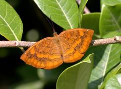 ecosystem/fauna/Dakhan Common Castor(Ariadne merione merione) (biodiversity western ghats(before it is gone)) Tags: taxonomy:binomial=ariadnemerione nymphalidae biblidinae diversityindia butterflyindia