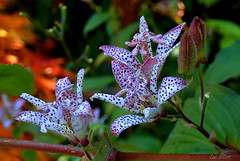 Japanese Toad Lily (Lani Elliott) Tags: flowers toadlily tricyrtis gardens crawleighwoodgardens mauve spotted lily