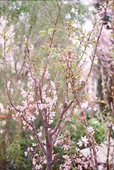Sakura blossoms at Gardens by the Bay Singapore (ItsJustinFromTheFuture) Tags: fujifilm superia 400 film half frame olympus pen d sakura cherry blossoms bokeh bloom compact