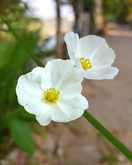 Echinodorus cordifolius (L.) Griseb.  Alismataceae-Creeping Burhead, อเมซอนใบกลม (SierraSunrise) Tags: alismataceae aquatic esarn flowers isaan nongkhai phonphisai plants thailand white