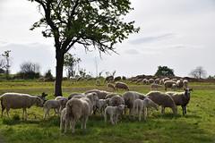 Le troupeau s'agrandit (Croc'odile67) Tags: nikon d3300 sigma contemporary 18200dcoshsmc paysage landscape nature animaux moutons agneau campagne