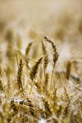 Standing ear of corn (Mario Ottaviani Photography) Tags: sonyalpha marioottaviani ear spiga grano nature macro tamron