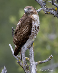 red-tailed hawk (Pattys-photos) Tags: redtailed hawk pattypickett4748gmailcom pattypickett idaho