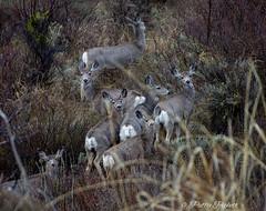 mule deer (Pattys-photos) Tags: mule deer pattypickett4748gmailcom pattypickett swanvalley idaho