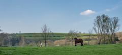 balade à Goé 4 (Aurore Mathieu Photography) Tags: balade goé nature campagne cheval limbourg 4830limbourg