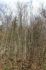 Hike to Château de Menthon, Rochers des Moillats & Ermitage de Saint-Germain (*_*) Tags: 2019 printemps spring april afternoon europe france hautesavoie 74 annecy hiking mountain montagne nature randonnee walk marche bornes savoie bluffy trail sentier forest