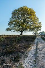 Solitary Tree | Solitaire boom (Leo Kramp) Tags: wwwleokrampfotografienl netherlands hdrresult solitaireboom plaatsen photography leokrampfotografie natuurfotografie technieken 2019 deelerwoud deelen gelderland nederland