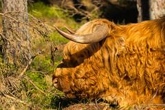 Scottish Highlander | Schotse hooglander (Leo Kramp) Tags: wwwleokrampfotografienl dieren schotsehooglander closeup plaatsen leokrampfotografie natuurfotografie deelerwoud 2019 zoogdieren mammals photography nederland