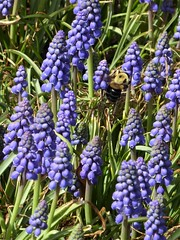 Lombard, IL, Lilacia Park, Grape Hyacinths with Bee (Mary Warren 13.6+ Million Views) Tags: lombardil lilaciapark garden park spring nature flora plants blooms blossoms flowers blue purple grapehyacinths