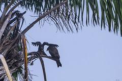 AQUILE AFRICANE  ---   AFRICAN EAGLES (Aquila di Cassinis) (Ezio Donati is ) Tags: uccelli birds aquile eagles animali animals alberi trees palme palm natura nature westafrica costadavorio abidjanlagunes
