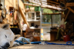ノンビリーヌ (atacamaki) Tags: xt2 xf 1855mm f284 fujifilm jpeg撮って出し atacamaki しもはじ埴輪キャンプ場 japan ibaraki camp dog sleep animal home 犬 のんびり ノンビリーヌ cafe