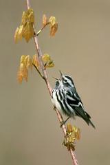 Black-and-White Warbler - Shawnee, Ohio (www.studebakerstudio.com) Tags: