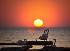 Can You Feel The Love Tonight (FlorDeOro) Tags: nikond90 photography nature seascape sunset birds swans heart colorful evening sea water tamron16300mm sky sun silhouette spring scenery stone light detail sweden gotland glow mijarajc