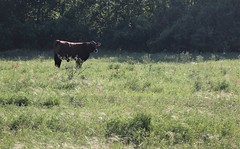 A Cool Spring Morning. (The Photo Bard) Tags: cow spring morning creamery creameries blue bell brenham texas tx houston milk production processing post field fence green wild flower shade sun light grass