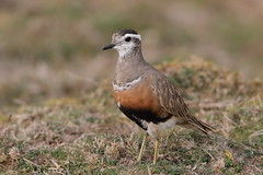 Eurasian Dotterel   Charadrius morinellus (ipaddave) Tags: