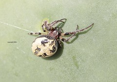 Maltese  Larinioides suspicax (Phil Arachno) Tags: malta europe spider spinne arachnida chelicerata mellieha