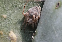 Maltese Araneus (Phil Arachno) Tags: malta europe spider spinne arachnida arthropoda chelicerata mellieha