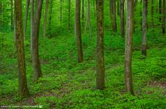 Fresh greens in the forest. (andreasheinrich) Tags: nature forest trees spring april evening warm overcast colorful germany badenwürttemberg neckarsulm dahenfeld deutschland natur wald bäume frühling abend bewölkt farbenfroh nikond7000