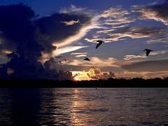 Animals (US Department of State) Tags: animals birds pelicans florida environment nature oceans northpalmbeach autumnalequinoxsunrise lagoon wildlife