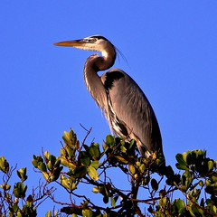 Animals (US Department of State) Tags: greatblueheron birds animals wildlife florida northpalmbeach mangrove munyonisland johndmacarthurbeachstatepark nature environment