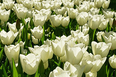 Parc de Keukenhof (Yves.Henchoz) Tags: nikond5 nikkor24120vrf4 fleurs nature tulipes tulipesblanches hollande paysbas nederland pétales
