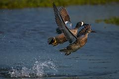 Double take-off (bodro) Tags: bif bolsachica bird birdinflight birdphotography bluewinged droplets duck ecologicalreserve featherdetails lateafternoonlight liftoff shallows splash sunintheeye takeoff teal wetlands wingsup