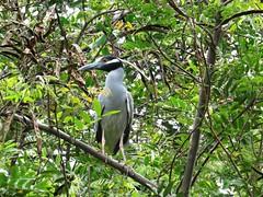 Heron (Bruja Camilla) Tags: heron birds animals wildlife