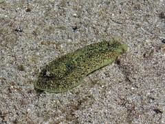 Sea snail (Bruja Camilla) Tags: sea snail animals wildlife