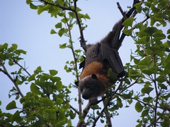 Fox bat (Bruja Camilla) Tags: foxbat bat sydney animals wildlife australia