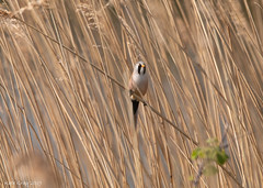 Bearded Tit (Kate M Gray) Tags: rspb dungeness kategray bird canon sigma beardedtit