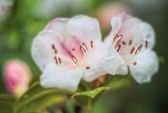 White Wet Beauties (fs999) Tags: 100iso fs999 fschneider aficionados zinzins pentaxist pentaxian pentax k1 pentaxk1 fullframe justpentax flickrlovers ashotadayorso topqualityimage topqualityimageonly artcafe pentaxart corel paintshop paintshoppro 2019ultimate paintshoppro2019ultimate macrolife macro makro masterphotos fleur flower blume bloem pentaxda70mmf24limited da70 limited dalimited 70mm f24 da70f24
