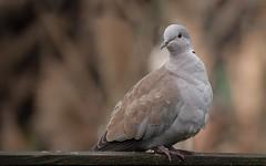 Collared Dove in the garden (Steve D'Cruze) Tags: collareddove nikond700 liverpool merseyside bird dove streptopelia decaocto