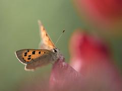 Le petit visiteur **---+°---° (Titole) Tags: cuivré papillon butterfly titole nicolefaton shallowdof tulip 15challengeswinner copperbutterfly thechallengefactory challengegamewinner