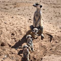 Meerkat (petraherdlitschke) Tags: africa südafrika kalahari animals wildlife erdmännchen meerkat outdoors outofafrica naturephotography africanwildlife canon7dmark2 sigma150600sport