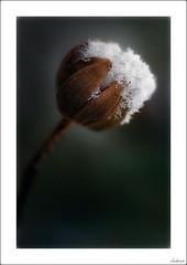 Cucurucho de nata (V- strom) Tags: texturas textures nikon nikon105mm nikond700 jara nieve snow blanco marrón macros macrophotography macrofotografía macrodeflora vstrom