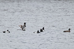 Four Male and one Female Greater Scaup (Aythya marila) on Oathill Lake Dartmouth Nova Scotia (internat) Tags: 2019 canada novascotia ns dartmouth oathilllake birds ducks greaterscaup aythyamarila eosm5 canonef100400mm