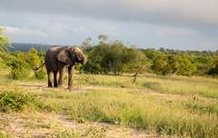Eléphant (Le Méhauté Sébastien) Tags: éléphant african elephant kruger afrique du sud south africa animaux sauvage