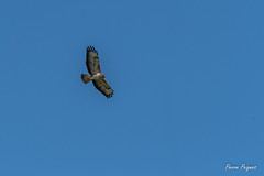 D50_3688 (pierre.peignois) Tags: buse variable buteo common buzzard