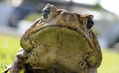 Cane Toad (Rhinella marina) (Sky and Yak) Tags: cane toad canetoad rhinellamarina rhinella marina marine giant amphibian mouth wart gape herpetology herp panama centralamerica
