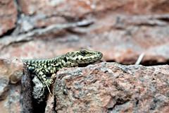 The Lizard (mirella cotella) Tags: lizard macro closeup animals details llangardaix سحلية 蜥蜴 xīyì lézard ящерица lagarto eidechse