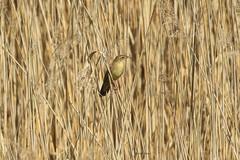 locustelle tachetée (tineandthecats@gmail.com) Tags: roseliere oiseaux chanteur