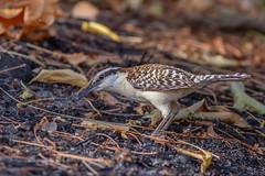 Rufous-naped Wren (Mario Arana G) Tags: 7d ave bird birding cr canon costarica florayfauna guanacaste marioarana nature naturephotography photography playasdelcoco rufousnapedwren wildlife wildlifecostarica