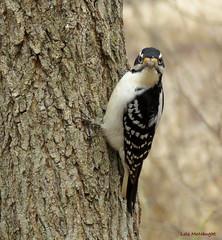 Hairy Woodpecker female (Lois McNaught) Tags: bird avian nature wildlife hamilton ontario canada hairywoodpeckerfemale